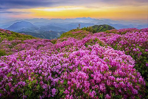 贵州周边一日游_贵州毕节百里杜鹃一日游 纯玩无购物 早春赏花